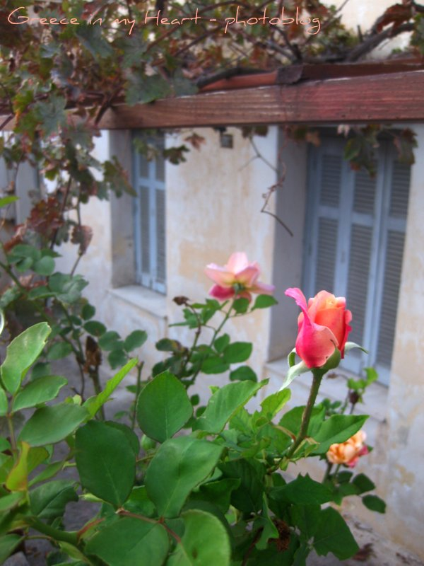 Greece in my Heart - photoblog: Greek rose garden