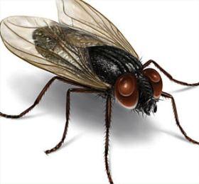 Cara Menegendalikan serangan lalat