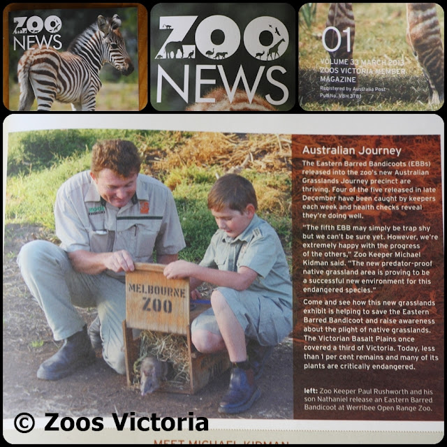Zoo News © Zoos Victoria March 2013 Bandicoot release WORZ