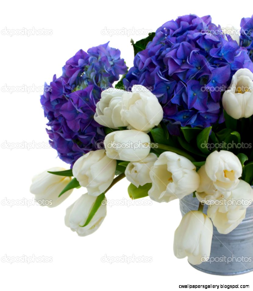 White tulips and blue hortensia flowers close up — Stock Photo