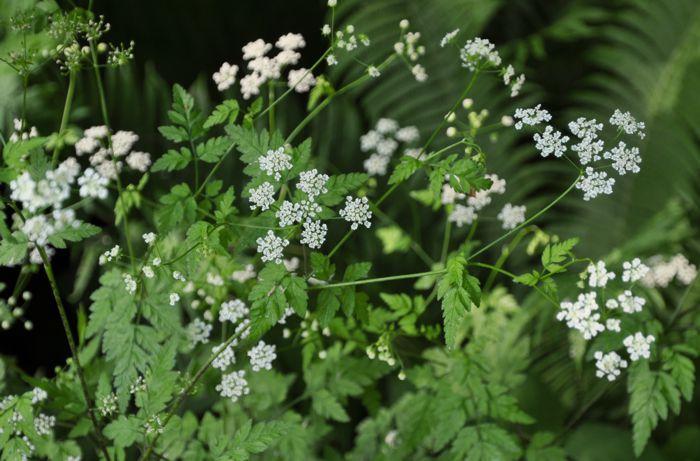 Hier Zusammen Mit Iris Sibirica Und Hemerocallis Lilioasphodelus In Der  Sonnigen Staudenwiese.