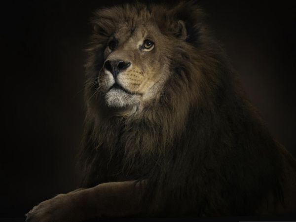 Animals Wallpapers King Of The Jungle African Lion Hd Wallpapers