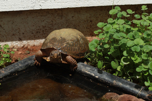 PaperTurtle: What to feed a box turtle