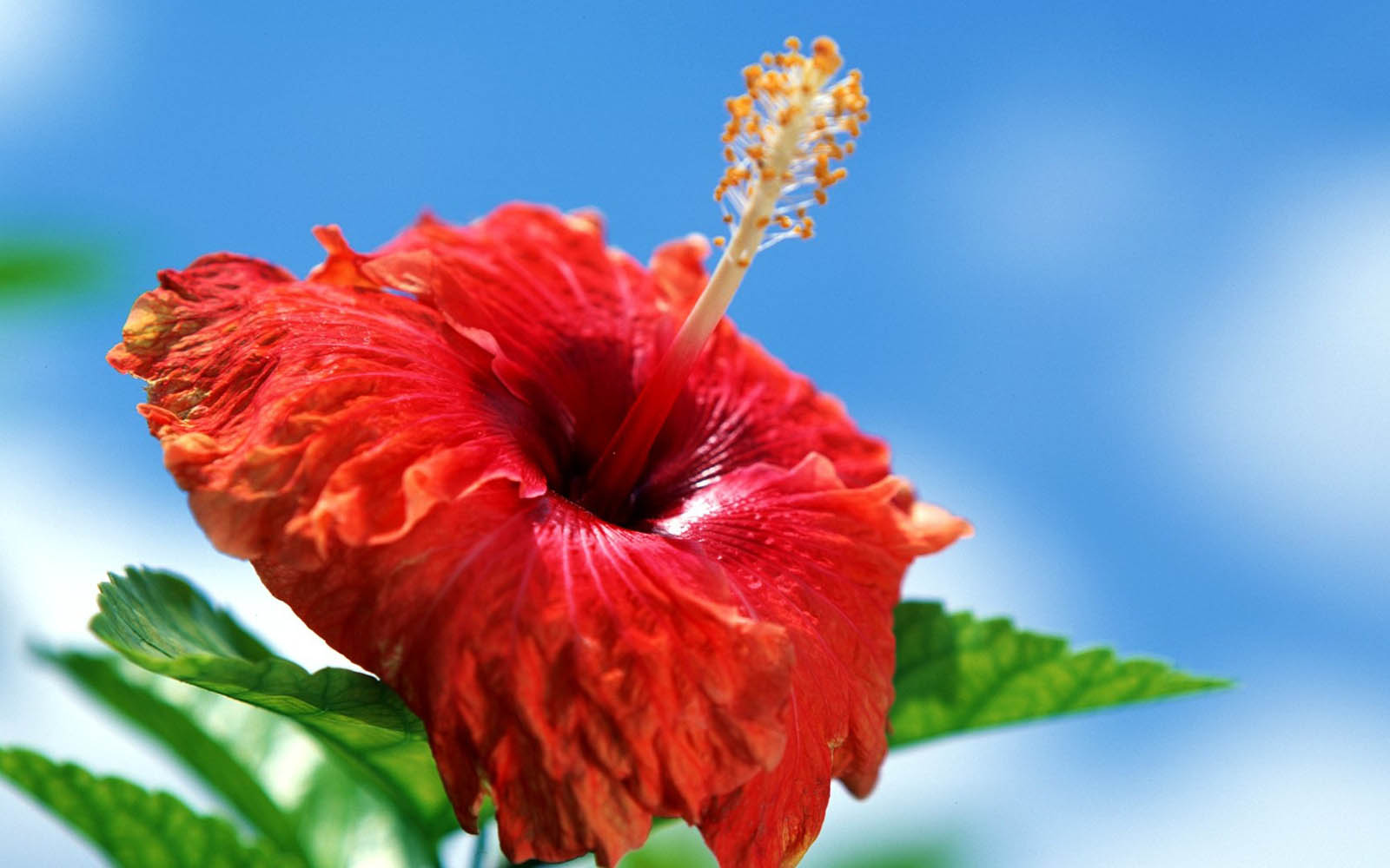 Flower Wallpaper | Flowers Wallpapers: Hibiscus Flowers Wallpapers ...