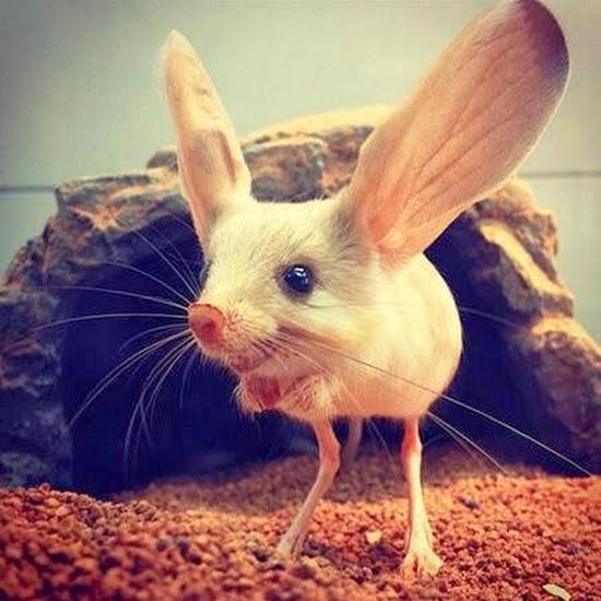 Jerboa - o rato mais diferente do mundo.jpg - Foto: Reprodução/ Buzzfeed