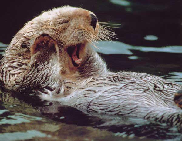 roaring otter