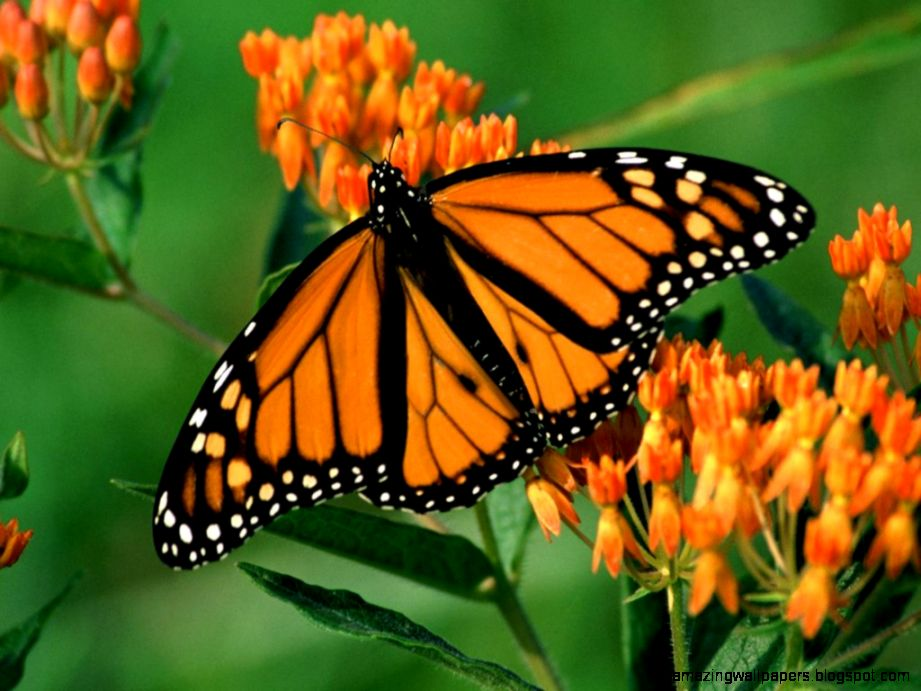 Orange butterfly   Imgwhoop