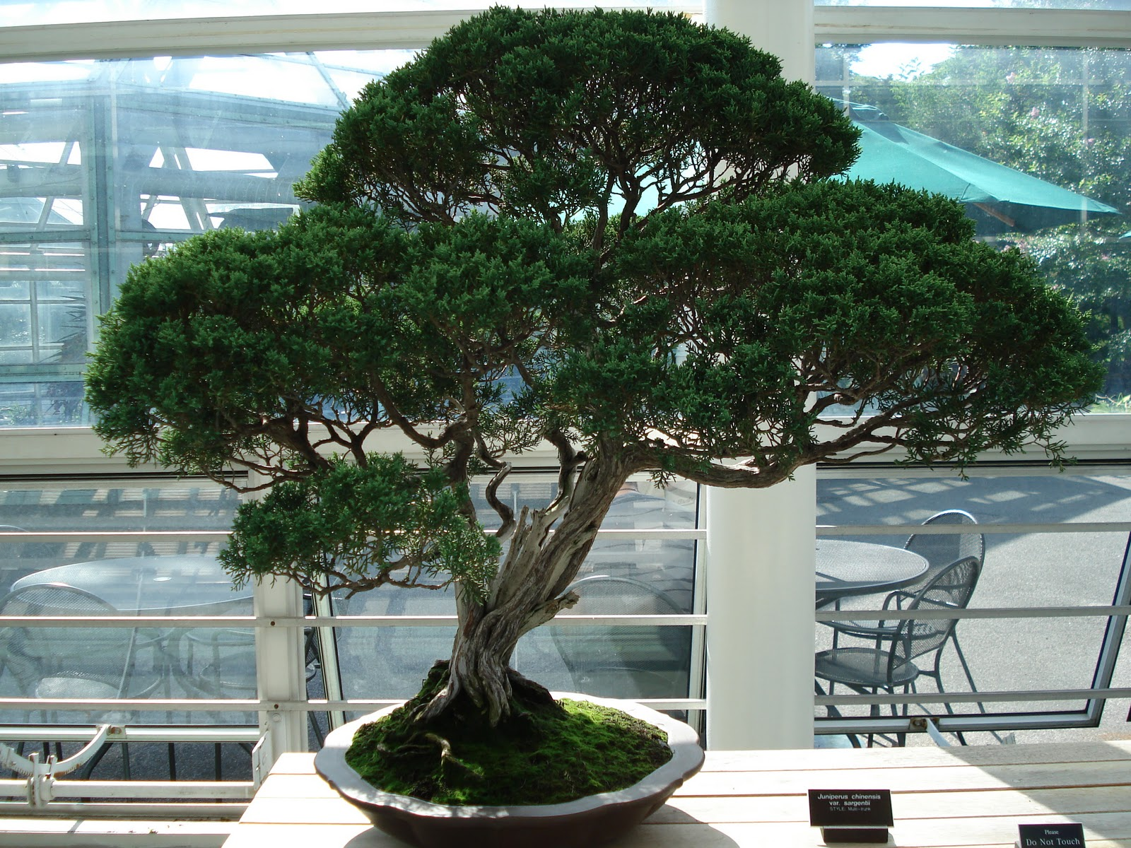 Odys Online Bonsai Tree