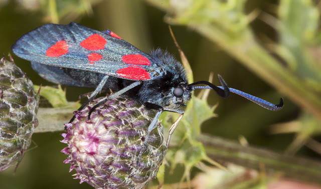 Narrow-bordered Five-spot Burnet.  Zygaena lonicerae.  Sandwich Bay, 3 June 2015.