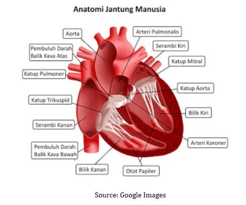 Struktur Anatomi Jantung dan Cara Kerjanya