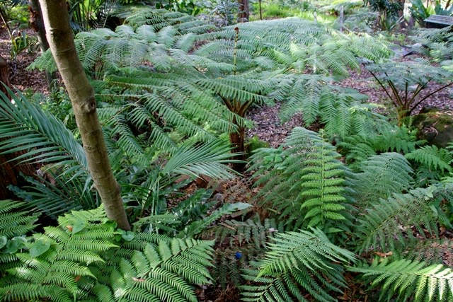 cooperi and dicksonia tree ferns
