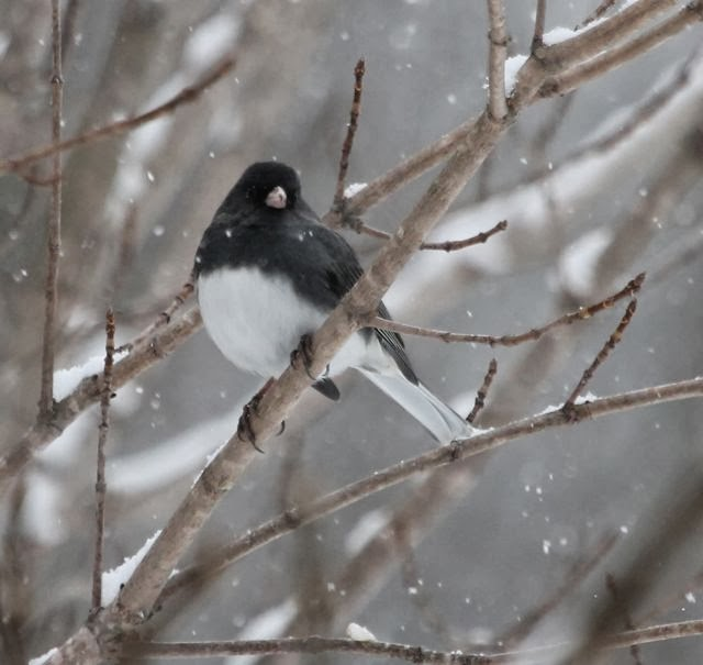 Junco in the tree