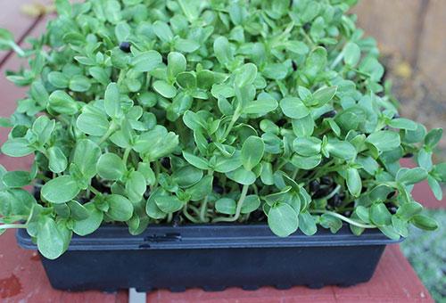 Khay nhựa đen trồng rau mầm hương dương