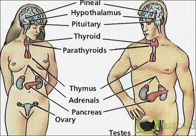 Sistem Hormonal