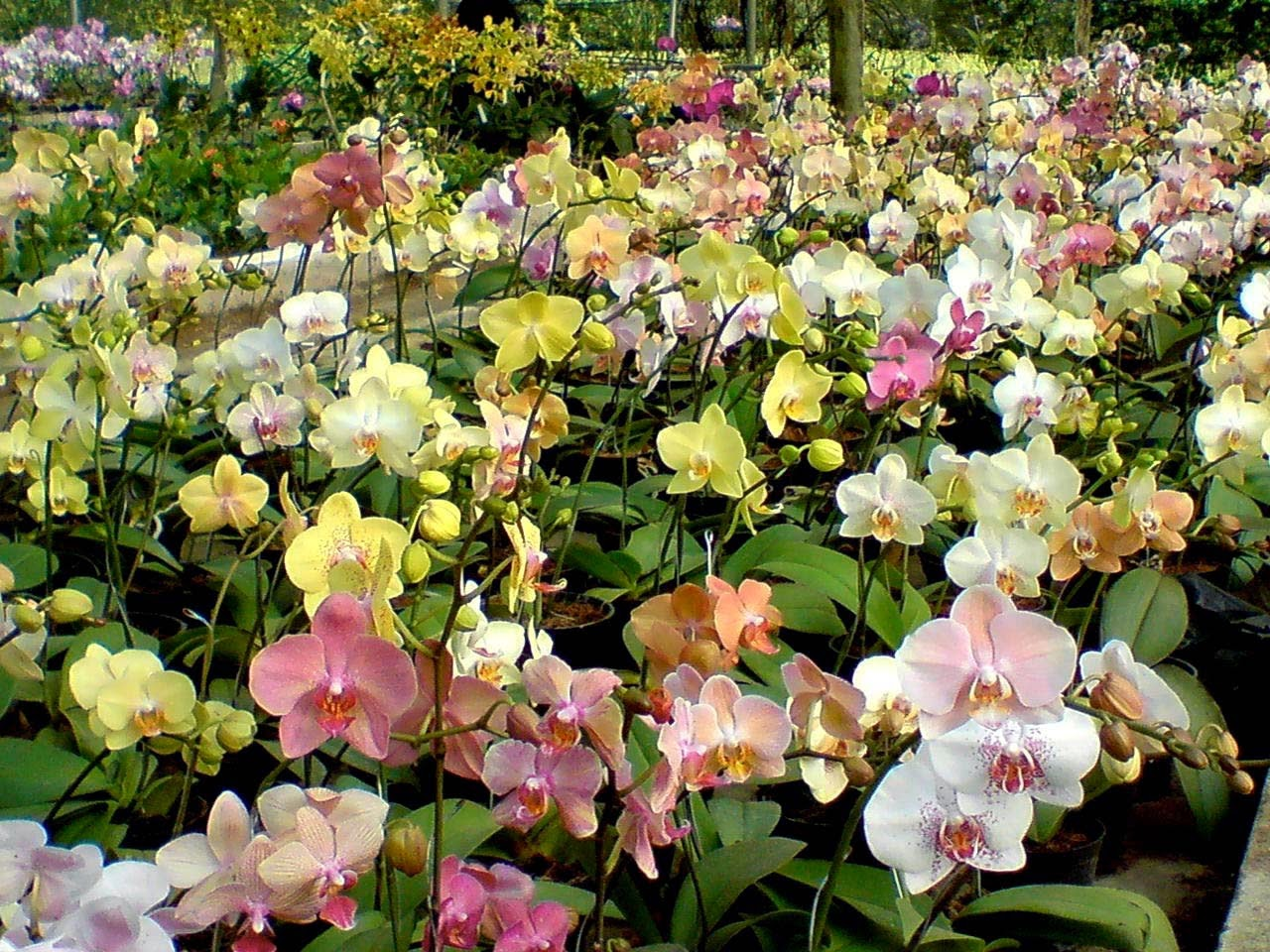 Philippine Orchid Events Culture Tips In Growing The Phalaenopsis