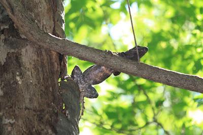 Black iguana in Laguna de Apoyo Nature Reserve