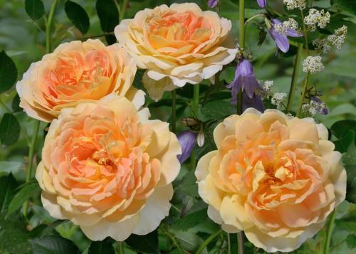 Molineux rose сорт розы фото купить
