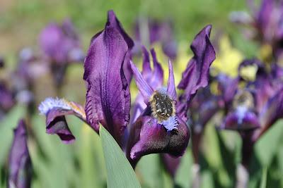 Ирис карликовый (Iris pumila)
