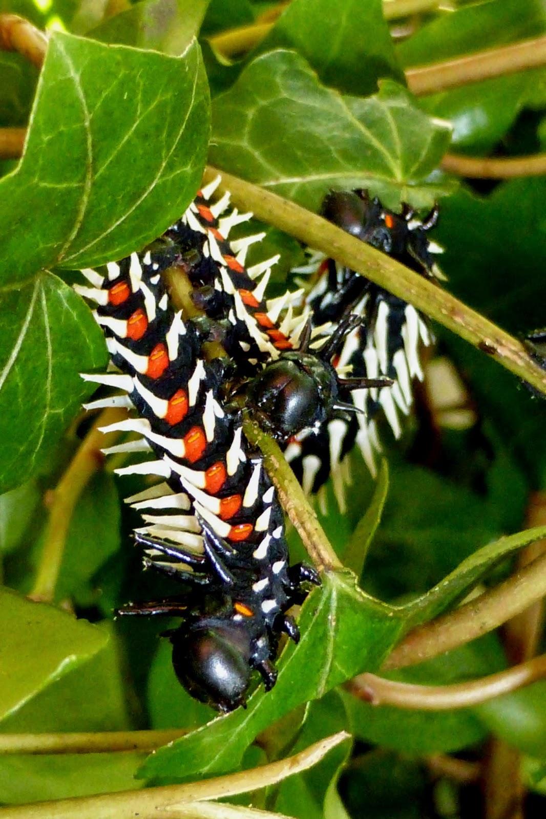 Bunaea alcinoe caterpillar