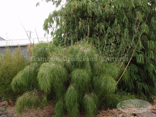 Bamboo Creations Victoria mexican weeping bamboo