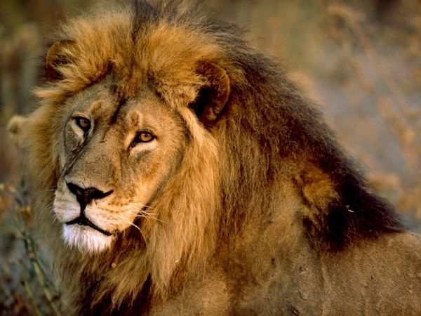 Funny Animals: African lion pictures