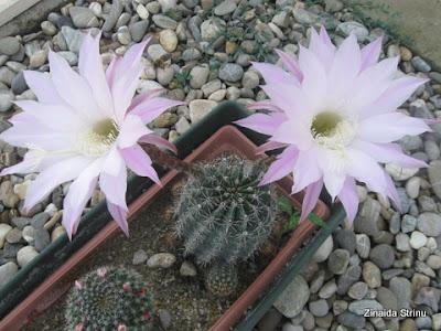 cactus-cu-flori-roz