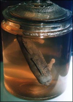 pez con cabeza humana