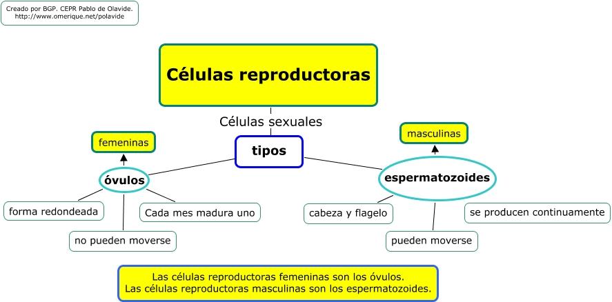 Origen Células Somáticas y Reproductoras: Células reproductoras