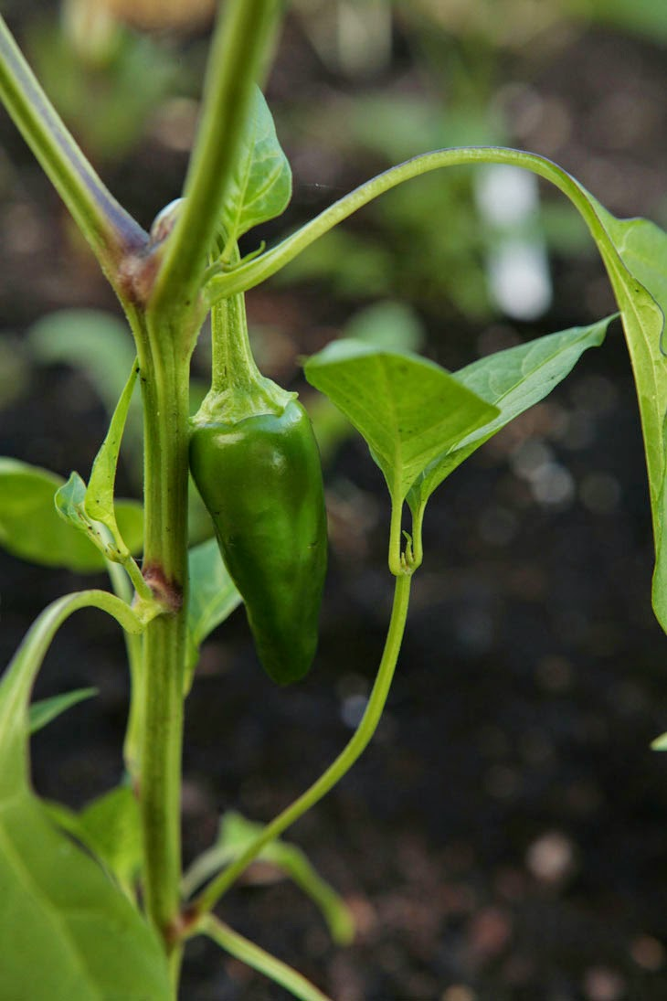Just one of a whole peck of peppers. - He Started With Some Boxes, 60 Days Later, The Neighbors Could Not Believe What He Built
