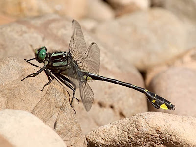 Cobra Clubtail