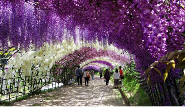 A walk through the Wisteris tunnel