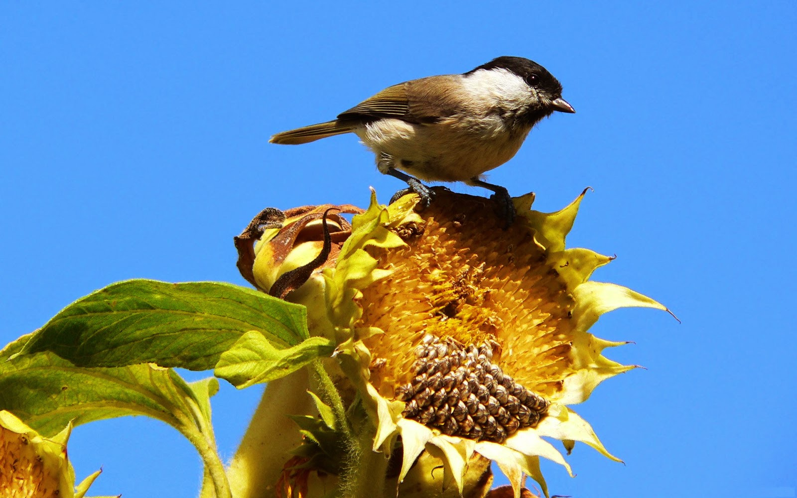 Bird Eating from a Sunflower
