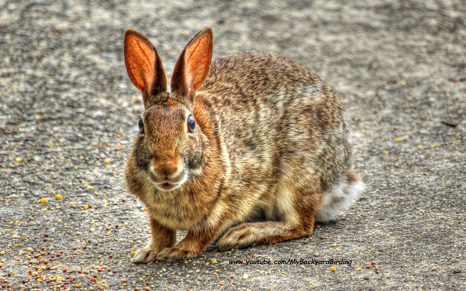 backyard birding and nature eastern cottontail rabbit great