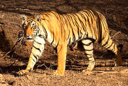 250px Tiger in Ranthambhore 10 of Worlds Strongest Animals Compared to its Body Weight