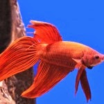 How to Feed the Fish Hickey - Ornamental Fish Tips