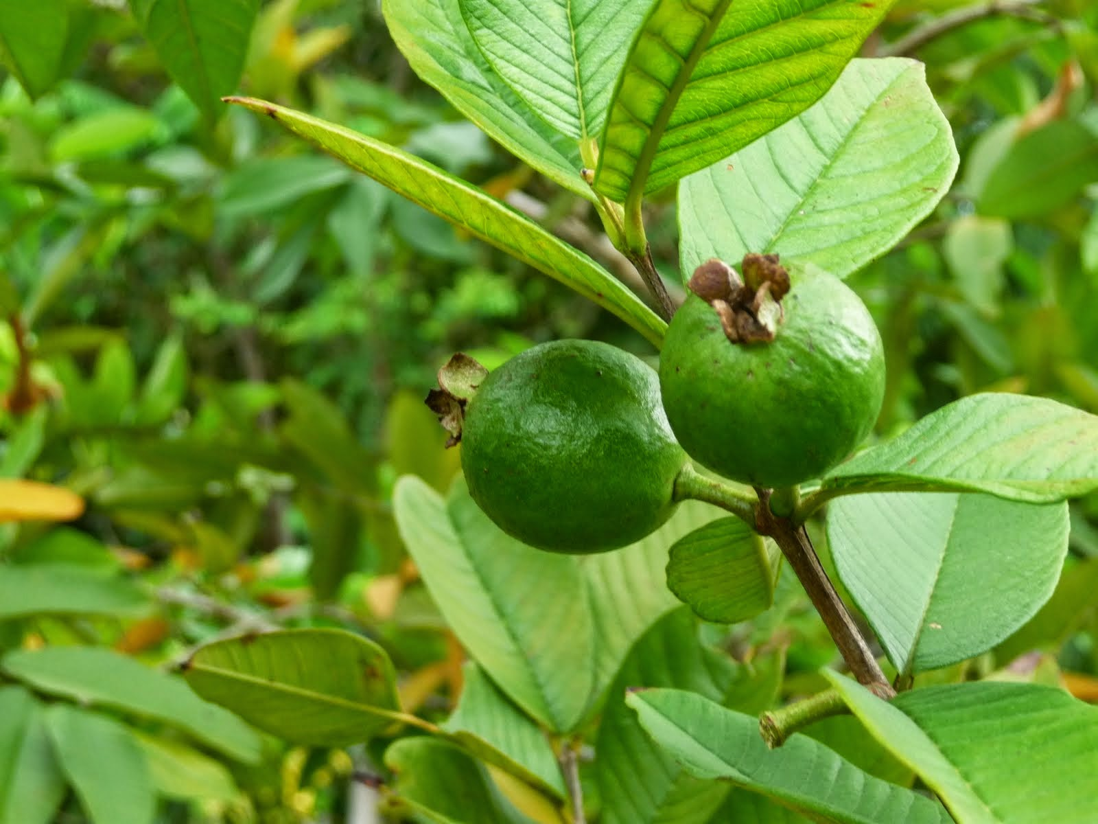 bear fruit guava fruit