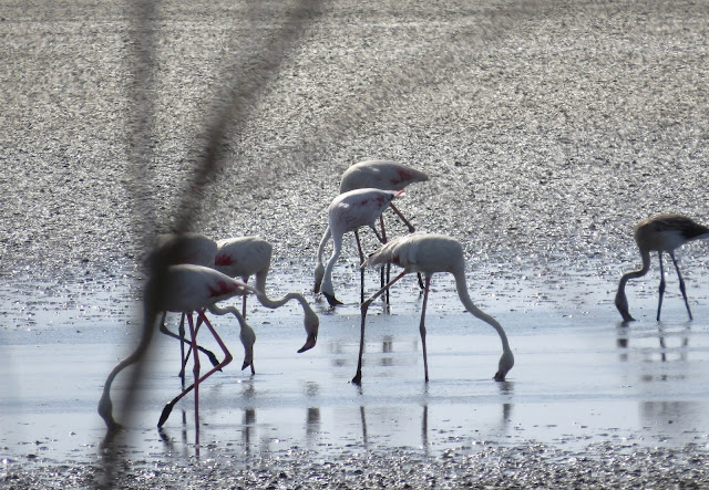 Lesser Flamingo - Spain