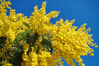 mimosa flower - the energy of JOY