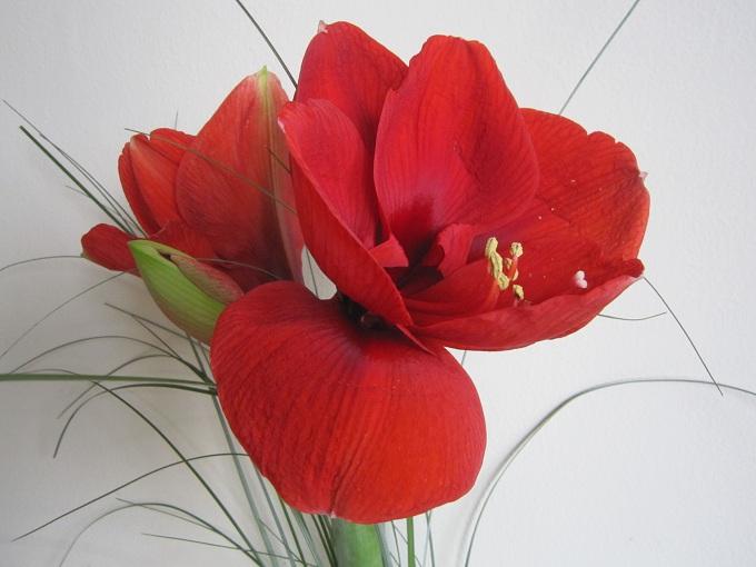 La fleur du dimanche suite de rouge amaryllis la fleur for Les fleurs amaryllis