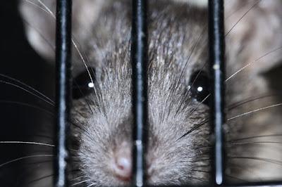 Inilah Jenis Tanaman Yang Dibenci Oleh Tikus