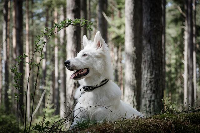 Vit herdehund, White Swiss Shepherd, Berger Blanc Suisse