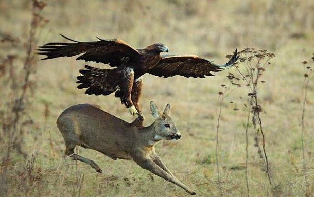 Águia flagrada tentando capturar cervo na Eslováquia