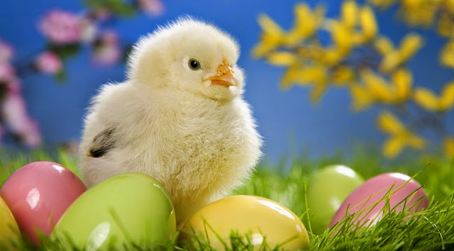 132131-Cute Chick Animals HD Wallpaperz