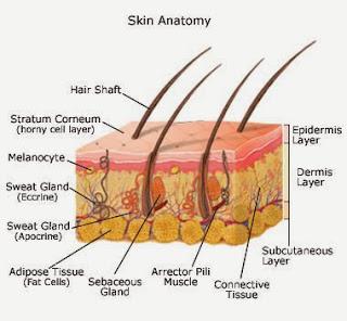 Kulit merupakan adegan badan yang pertama kali dapat mempesona siapa saja yang melihatnya Cara Membersihkan Sistem Limfa biar kulit Sehat