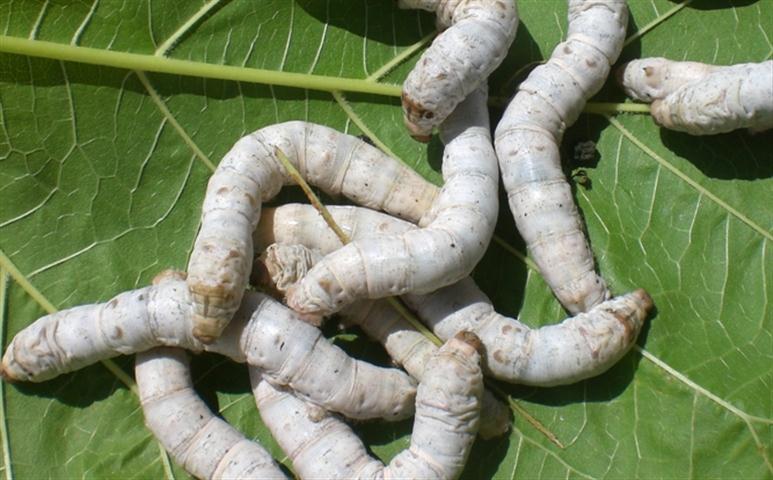 Maria laura gonzalez donado gusanos de seda for Gusanos blancos en la cocina