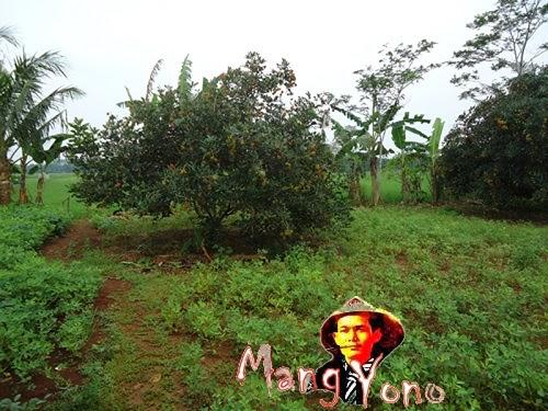 Kebun Rambutan Di Kabupaten Subang