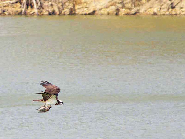 osprey, caught fish,bank of dam, flying