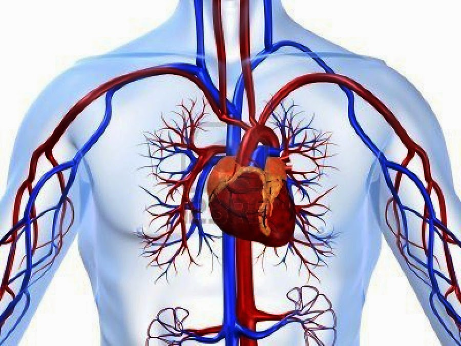 Discovering Something New Cardiovascular System Its Functions