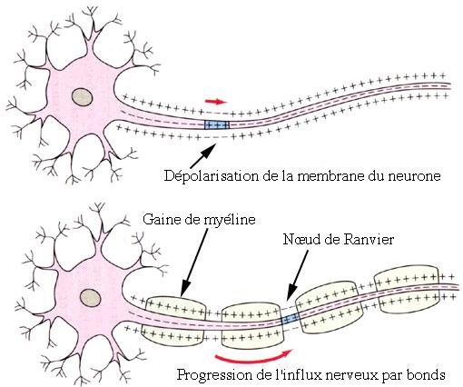 Neurone propagation de l influx nerveux for Influx nerveux
