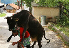 funny picture cow jumps on a woman